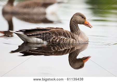 Greylag Goose in Water