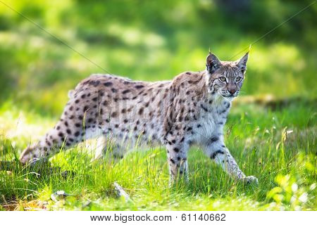 Lynx sneaking in the green grass