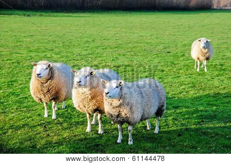 4 Sheep In Field
