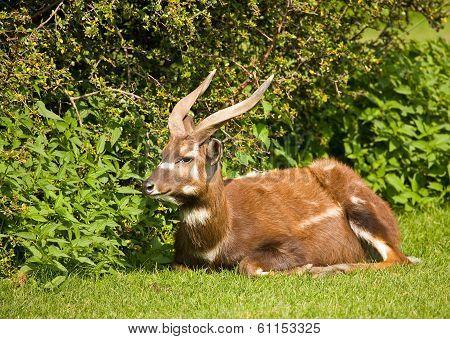 Swamp Antelope