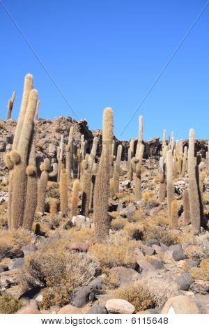 Cacti On The Isla Del Pescado