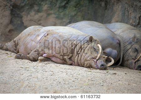Babirusa Pigs Sleeping