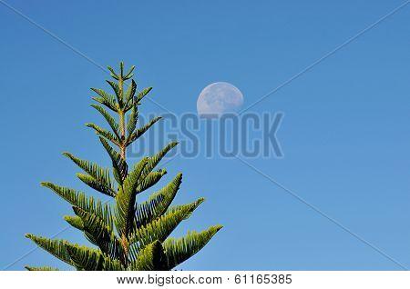 Pine Tree And Moon
