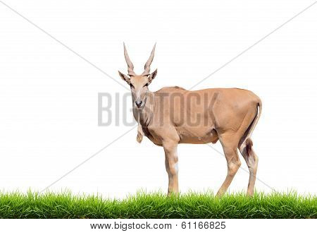 Eland With Green Grass Isolated