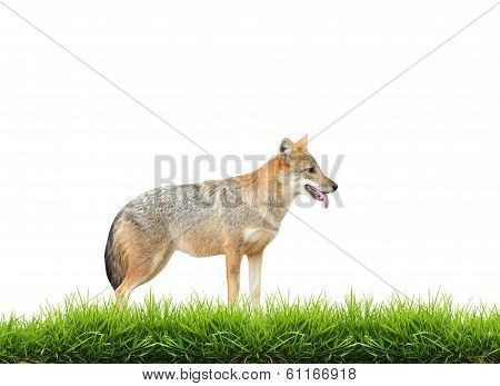 Golden Jackal With Fresh Green Grass Isolated