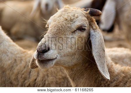 Closeup of a Sheep