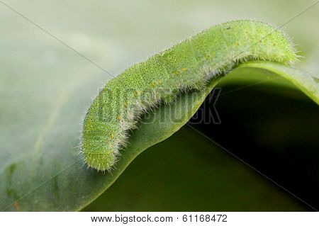 Cabbage White Caterpillar