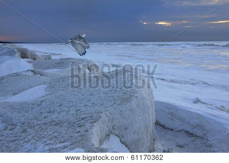 Snowy Owl Flying Over Frozen Shoreline - Ontario, Canada