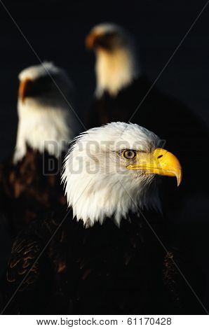 Bald Eagle Trio 1 Kodiak Alaska