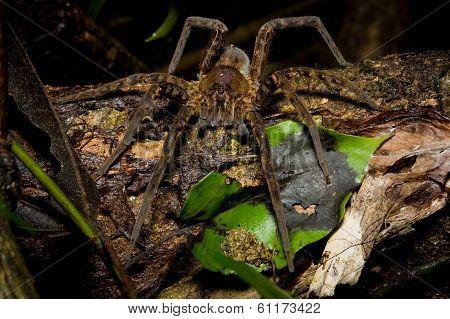 Tarantula, spider at night