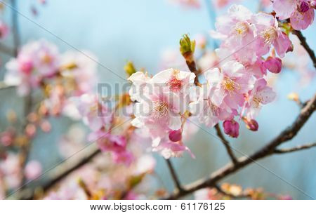 Early spring cherry blossom with soft pastel blue bokeh background.