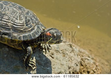Turtle Basking In The Sun Near A Pond