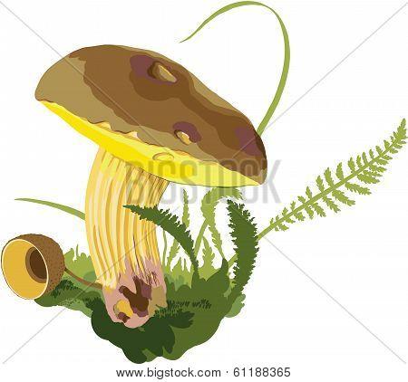 Mushroom (Boletus)