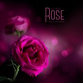 stock photo of purple rose  - pink rose against a soft dark background - JPG