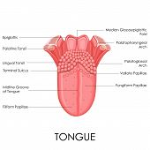 picture of tongue  - vector illustration of diagram of human tongue anatomy - JPG