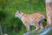 stock photo of bobcat  - Eurasian lynx cat standing by a tree and looks for pray or danger.
