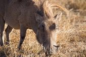stock photo of wild hog  - Wild hog eating in Ngorongoro - JPG