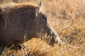 foto of wild hog  - Wild hog walking in Ngorongoro - JPG