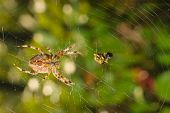 picture of huntsman spider  - Spider with meal caught in web - JPG
