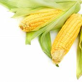 foto of sweet-corn  - Corn cobs isolated on a white background - JPG