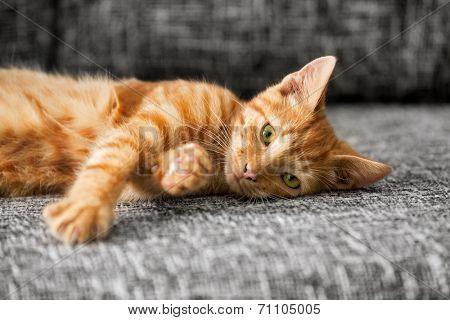 cat kitten, 10 weeks old, lying on bed