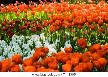 Flowerbed In Spring With Orange Tulips