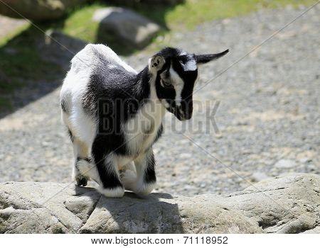 Kneeling Black & White Kid Goat