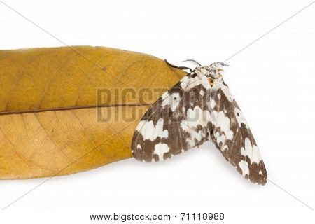 Tussock Moth Butterfly With Dried Mango Leaf Isolated On White Background.