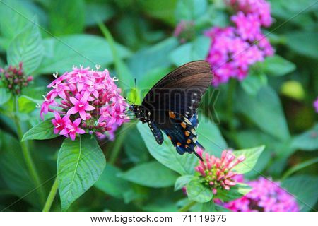 Butterfly Eastern Black Swallowtail on pink flowers