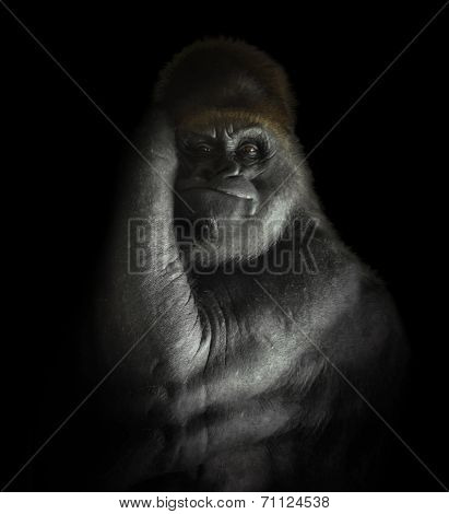 Powerful Gorilla Mammal Isolated On Black