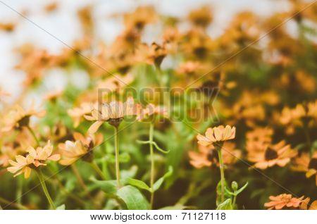 Zinnia Angustifolia Flowers Vintage