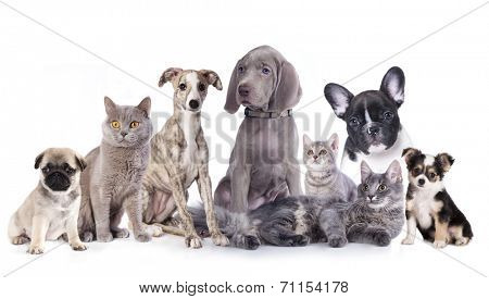 Weimaraner puppy and kitten, Cat and dog