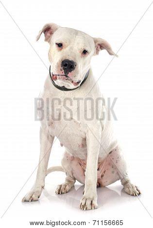 Argentinian Dog