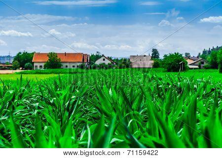 Young corn field closeup