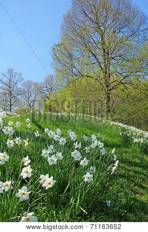 Hill With Wild Narcissus Flowers And Sprouting Trees