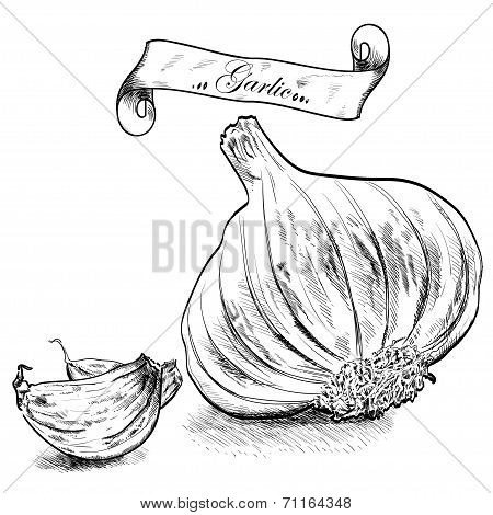 Hand drawn illustration with garlic isolated.