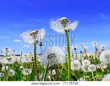 Withered Blow Balls In A Dandelion Meadow, Against Blue Sky
