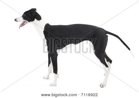 Greyhound (six-month-old Puppy) Isolated On White