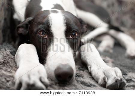 Greyhound puppy with sad looking