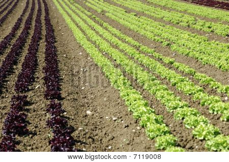Cultivation of lettuce
