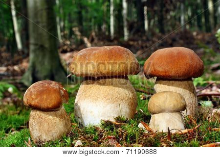 Group  Boletus