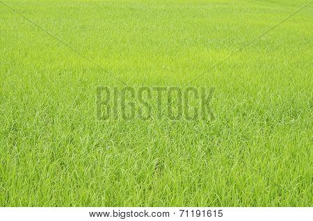 Verdant rice fields in Thailand.