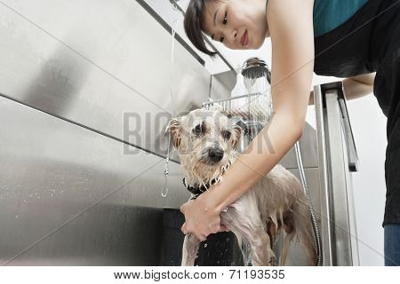 Woman pet groomer cleaning dog in sink