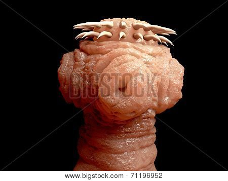 Tapeworm head