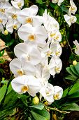 foto of monocots  - A beautiful panicle of white orchids in a garden - JPG