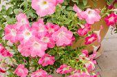 foto of petunia  - Petunia or Petunia Hybrida Vilm in the garden or nature park - JPG