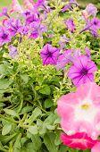 picture of petunia  - Petunia or Petunia Hybrida Vilm in the garden or nature park - JPG