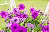 pic of petunia  - Violet Petunia or Petunia Hybrida Vilm in the garden or nature park - JPG
