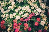 stock photo of lantana  - Lantana or Wild sage or Cloth of gold or Lantana camara flower in the garden vintage - JPG