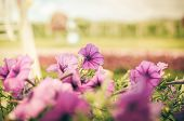 stock photo of petunia  - Violet Petunia or Petunia Hybrida Vilm in the garden or nature park vintage